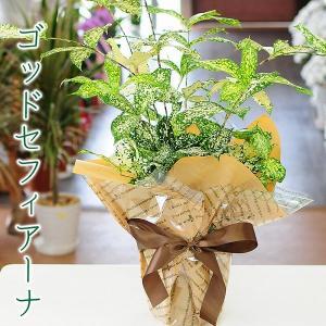 観葉植物 ドラセナ ゴッドセフィアーナ 6号鉢 ゴッドセフィアナ フロリダビューティー スルクロサ flower