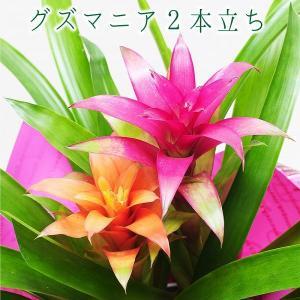 観葉植物 グズマニア 2本立ち 6号鉢 ミックスカラー  鉢  フラワーギフト|flower