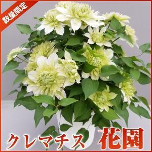 母の日 花 2019 ギフト クレマチス 花園 5号鉢 鉢植え 母の日ギフト クレマチス鉢花 クレマチス 産地直送 母の日ギフト 送料無料|flower