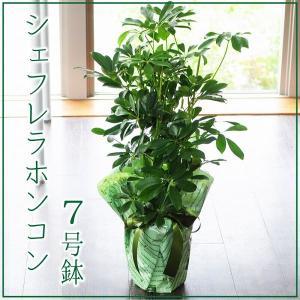 シェフレラホンコン 7号鉢 観葉植物 シェフレアホンコン カポック  鉢  フラワーギフト|flower