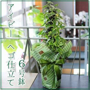 アイビー(ヘデラ)へゴ仕立て 6号鉢 観葉植物 フラワーギフト|flower