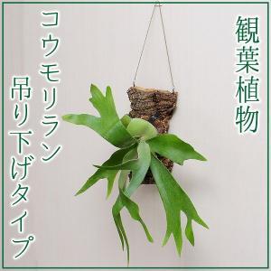 コウモリラン 吊り下げタイプ ハンギング仕立て 活着タイプ 着生タイプ 観葉植物|flower