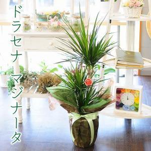 ドラセナ マジナータ 真実の木 コンシンネ 7号鉢 観葉植物 開店祝い 移転祝い 新築祝い|flower