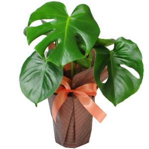 観葉植物 モンステラ 6号鉢  鉢  フラワーギフト|flower
