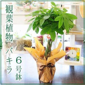 パキラ 6号鉢 観葉植物 開店祝い 移転祝い 新築祝い|flower