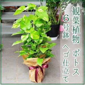観葉植物 ポトス 6号鉢 へゴ仕立て 開店祝い 移転祝い 新築祝い|flower