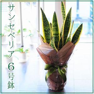 サンセベリア 6号鉢 観葉植物 サンスベリア サンセデリア  鉢  フラワーギフト|flower