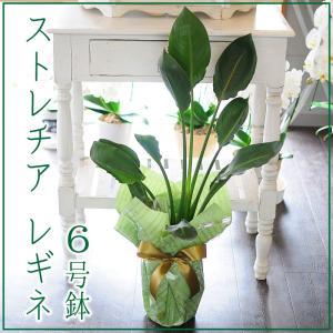 ストレリチア・レギネ (ストレチア) 観葉植物 ストレリチア・レギナエ 6号鉢 フラワーギフト flower