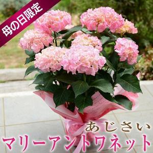 母の日 2019 花 鉢花 母の日花 あじさい ギフト マリーアントワネット 5号鉢 送料無料|flower