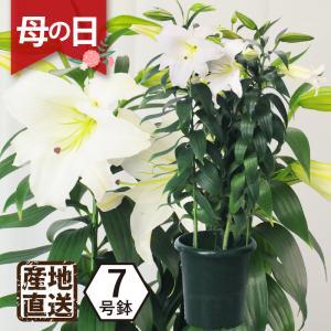 母の日2019 ギフト ゆり ユリ 百合 鉢植え ギフト カサブランカの鉢花 7号鉢 3本立 産地直送 花贈る プレゼント 送料無料|flower