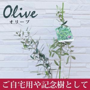 オリーブの木 記念樹、ご自宅用に、ベーシックな3品種|flower