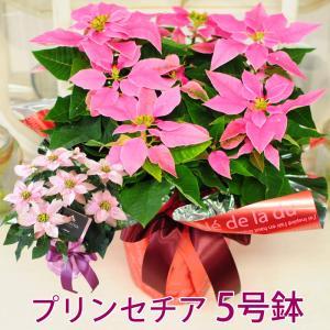 プリンセチアギフト 5号鉢 ポインセチア プレゼント クリスマス贈り物|flower