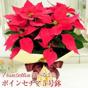 ポインセチア鉢植え 5号鉢 クリスマスプレゼント ポインセチアギフト 生花|flower