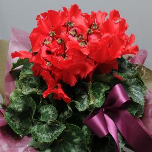 シクラメンギフト  聖夜の明かり 5号鉢 お歳暮シクラメン贈り物  クリスマスシクラメン|flower