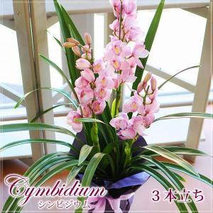 シンビジューム贈り物 シンビジウム ピンク系 3本立ち 鉢花  お歳暮ギフト 蘭宅配
