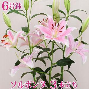 母の日 ギフト 2019 産地直送 大輪ピンクユリ ソルボンヌの鉢植え 3本立ち 6号鉢 ゆり 百合 花贈る プレゼント 送料無料|flower