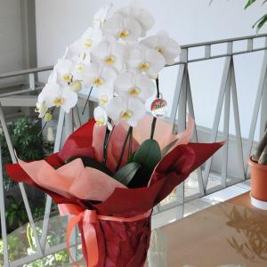 胡蝶蘭 3本立 白 Mサイズ 洋ラン 鉢 花 ギフト|flower