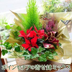 クリスマス限定 ポインセチア入り寄せ鉢ミックス ポインセチアプレゼント宅配 ギフト|flower