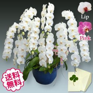 胡蝶蘭大輪の白・ピンク・リップから1色の胡蝶蘭を10本寄せ植え。1本に約13輪前後の花を着けた「プレ...