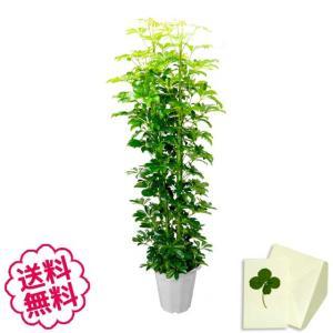 観葉植物 カポック おしゃれ 大型 10号 (鉢カバーなし 鉢皿なし ギフト不向き)|flowergift-meme