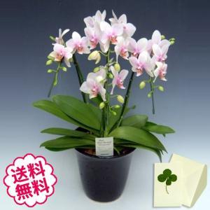胡蝶蘭 ミディ ハルガスミ 3本立以上/ 開店・開業・開院・誕生日・母の日・長寿・引越・新築祝い。|flowergift-meme