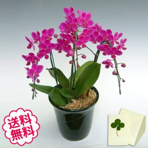 胡蝶蘭 ミディ 満天紅 3本立以上/ 開店・開業・開院・誕生日・母の日・長寿・引越・新築祝い。|flowergift-meme
