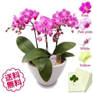 胡蝶蘭 ミディ 白・黄色・ピンク 3本立  白舟形鉢/開店祝い 移転祝い 引越祝い 新築祝い 退職祝い 誕生日 還暦祝い|flowergift-meme