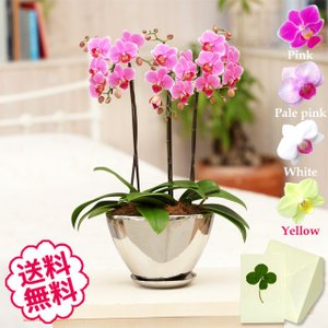 胡蝶蘭 ミディ 白・黄色・ピンク 3本立  シルバー舟型鉢/開店祝い 移転祝い 引越祝い 新築祝い 退職祝い 誕生日 還暦祝い|flowergift-meme