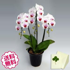 胡蝶蘭 ミディ サクラヒメ 3本立以上/ 開店・開業・開院・誕生日・母の日・長寿・引越・新築祝い。|flowergift-meme
