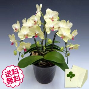 胡蝶蘭 ミディ ザルツマン 3本立以上/ 開店・開業・開院・誕生日・母の日・長寿・引越・新築祝い。|flowergift-meme