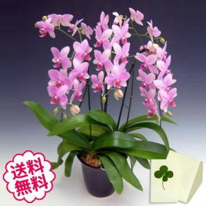 胡蝶蘭 ミディ スーパーマーメイド 3本立以上/ 開店・開業・開院・誕生日・母の日・長寿・引越・新築祝い。|flowergift-meme