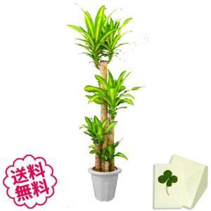 観葉植物 幸福の木 おしゃれ 大型 10号 (鉢カバーなし 鉢皿なし ギフト不向き)|flowergift-meme