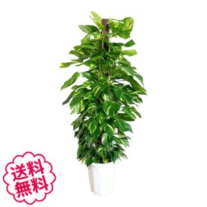 観葉植物 ポトス おしゃれ 大型 10号 (鉢カバーなし 鉢皿なし ギフト不向き)|flowergift-meme