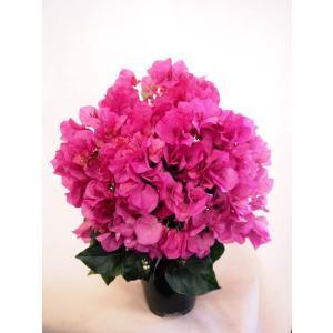【母の日】ブーゲンビリアの鉢植え・ピンク flowerliberte