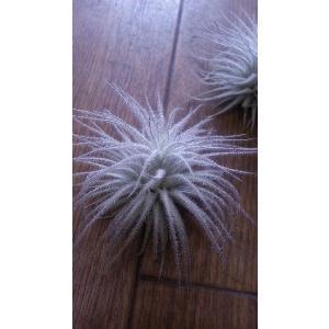 エアプランツ 『チランジア テクトラム』|flowerliberte