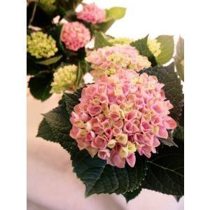 アジサイの鉢植え『マジカルレボリューション・ブルー』 【マジカルシリーズ】 flowerliberte