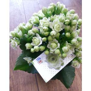 カランコエ『クイーンローズ・パリ』 【誕生日・記念日・ギフト】|flowerliberte