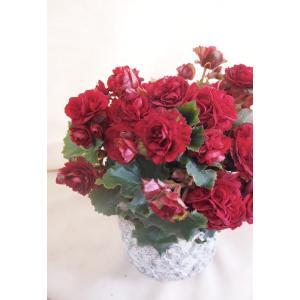 【母の日】エラチオールベゴニア 「アールデコ」 flowerliberte