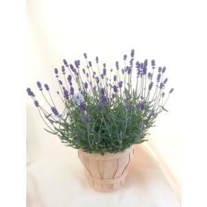 【母の日】ラベンダー・ヒデコートの鉢植え flowerliberte