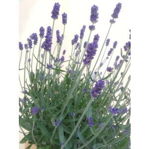【母の日】ラベンダー・ヒデコートの鉢植え flowerliberte 02