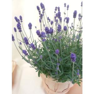 【母の日】ラベンダー・ヒデコートの鉢植え flowerliberte 03