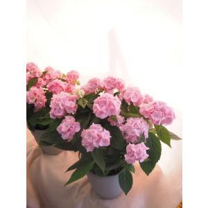 【母の日】四国系山アジサイ 桜伊予獅子てまり |flowerliberte