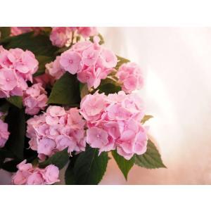 【母の日】四国系山アジサイ 桜伊予獅子てまり |flowerliberte|02