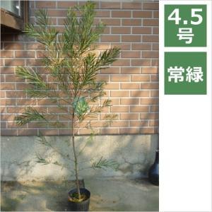 アカシア フロリバンダ 4.5号 13.5cm / 花苗・花木