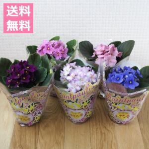 (送料無料) セントポーリア おまかせ 5鉢セット 3.5号 / 花苗