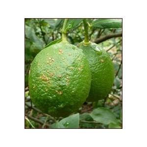 他商品と同梱でどうぞ 中島無農薬有機栽培レモン 1個|fruit-sunny