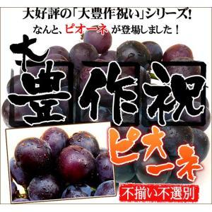 大豊作祝いのピオーネ【不選別・不揃い】訳あり【送料無料】ぶどう 葡萄 フルーツ 果物 旬 くだもの わけあり 食品 ワケあり ふぞろい 果実|fruit-sunny