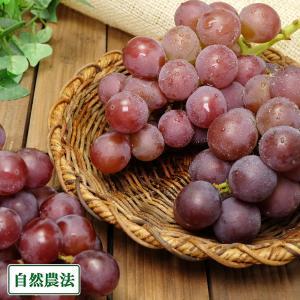 ぶどう 紅伊豆 1kg 自然農法 (宮城県 後藤ぶどう園)  産地直送|fs21
