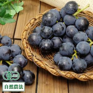 ぶどう 高墨 2kg 自然農法 (宮城県 後藤ぶどう園)  産地直送|fs21