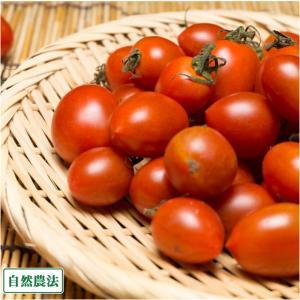 ミニトマト 1.5kg 自然農法 (沖縄県 大宜味農場) 産...